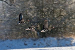 Nordische Gastvögel wie die Bläßgans sorgen in Ostfriesland für massive Schäden - Foto: Andreas Trepte, www.photo-natur.de